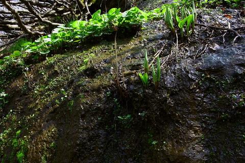 20110506原始の森(山菜採り)植物.JPG