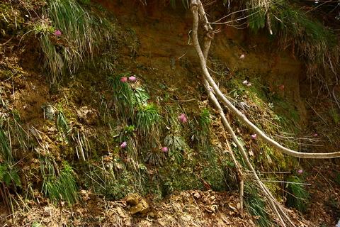 20110506原始の森(山菜採り)花 断層1.JPG