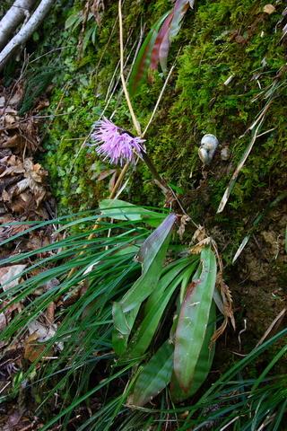 20110506原始の森(山菜採り)花 断層3.JPG