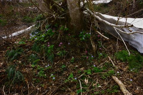 20110506原始の森(山菜採り)花 木の根1.JPG