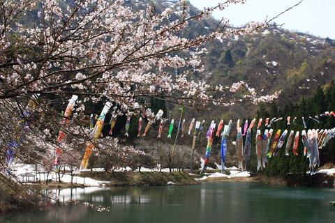20110507子供の日(大崎ダム)鯉のぼり 桜 残雪.JPG