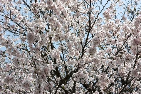 20110511GW(桜)ソメイヨシノ.JPG