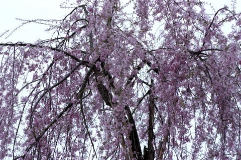 20110511GW(桜)枝垂桜.JPG