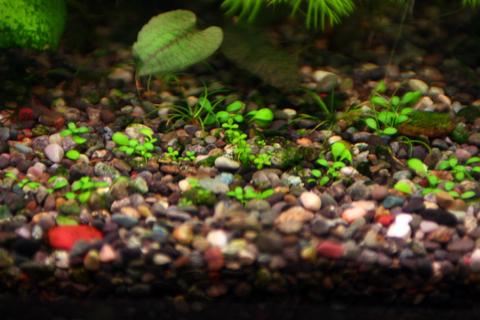 キューバパールグラス グロッソスティグマ ショートヘアーグラス(シュリンプ水槽)アクアリウム