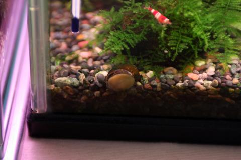 石巻貝とレッドビーシュリンプ(40水槽)アクアリウム