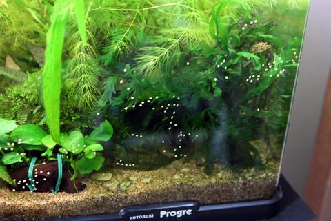 石巻貝卵2(60水槽)アクアリウム