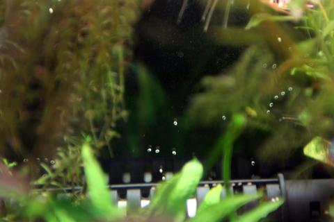 石巻貝卵4(60水槽)アクアリウム