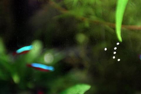 石巻貝投入後 ガラス面苔 斑点苔2(60水槽)アクアリウム