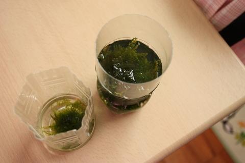 アクアリウム(トリミング南米ウィローモス_1)水草_20100430.JPG