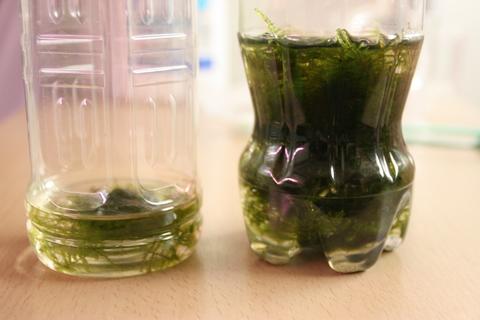 アクアリウム(トリミング南米ウィローモス_2)水草_20100430.JPG