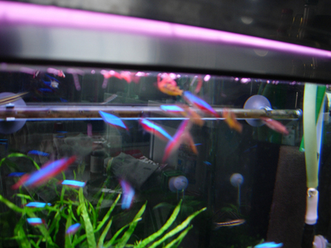 アクアリウム(水槽)赤虫の取り合い_20100506.JPG