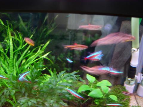 アクアリウム(水槽)熱帯魚たち_20100506.JPG